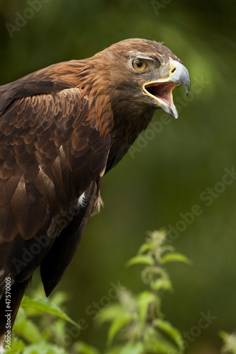 Golden Eagle (Aquila chrysaetos) Highlands