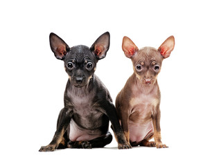 two puppies of Chihuahua isolated