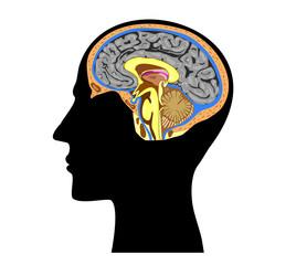 silhouette of a human head with brain anatomy  inside