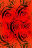 Fototapeta czerwony - tło - Roślinne