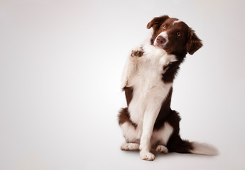 Junior brown border collie sitting and raising a paw