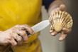 fisherman hands opening a scallop