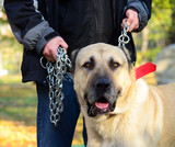 Owner holding big dog on chains