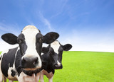 Fototapety Cow on green grass field with cloud background