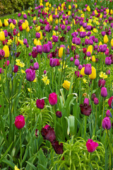 tulips flowerbeds