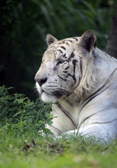 The white tiger yawns. Safari - park. Bali. Indonesia