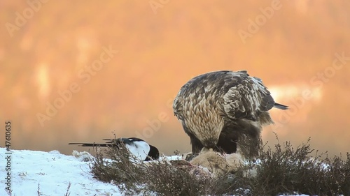 Golden eagle feeding on a dead deer