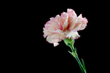 Pink carnation (dianthus caryophyllus)