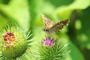 Carcharodus alceae butterfly