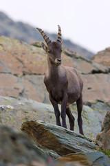 Giovane maschio di stambecco su roccia