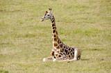 Baby giraffe sitting