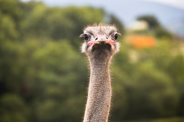 Closeup portrait of an ostrich