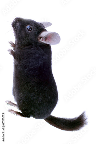 Black ebonite chinchilla on white background.