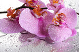 Fototapety pink beautiful orchid with drops