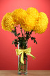 bright yellow chrysanthemums in glass vase, on red background