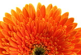 Fototapety beautiful gerbera flower isolated on white