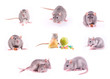 Set of rats isolated on white