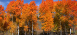Fototapety Bright colored autumn trees at its peak