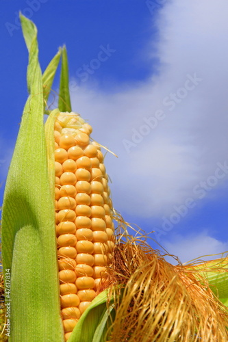 Young ears of corn against the sky
