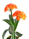 Orange Clivia miniata isolated on the white background