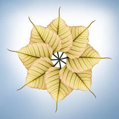 Fresh, new & bright peepal(pipal) leaves arranged in circular fa