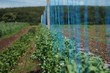 Field of peas, with strings