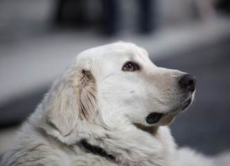 Head of a large white dog side view