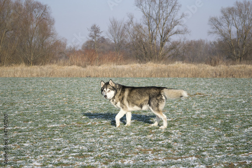 Alaskan Malamute dog in the field with rape