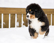 Bernese mountain dog puppet waiting his chance