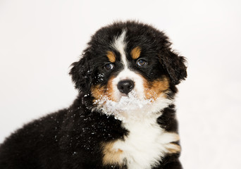 Bernese mountain dog puppet is halfly snowy