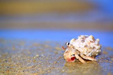 浜辺を歩くヤドカリ