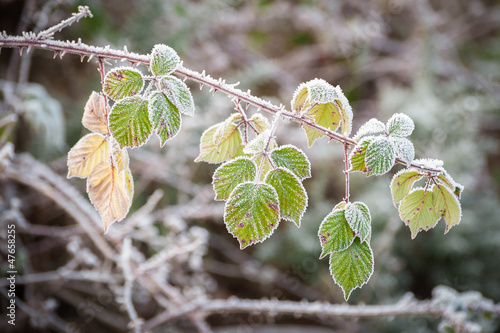 winter brambles covered in frost