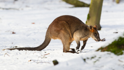 Swamp wallaby in the snow