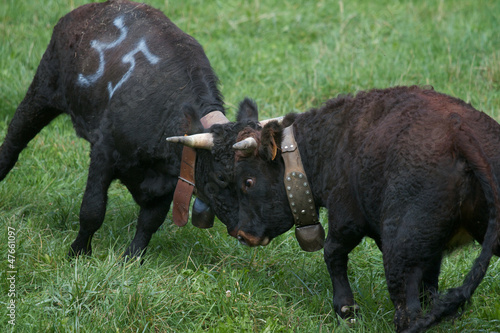 cows fighting in Aosta Valley - Italy