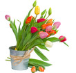 spring tulips in pot