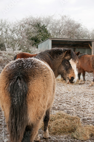 Welsh pony in winter