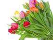 multicolored spring tulips