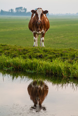 Dutch cow reflected in water
