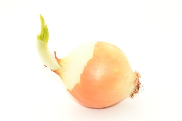 Cebolla con brote