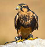 Aplomado Falcon lives to kill