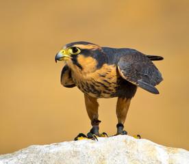 Aplomado Falcon ready to fly