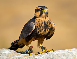 Aplomado Falcon stands proud