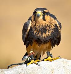 Aplomado Falcon waits for the hunt