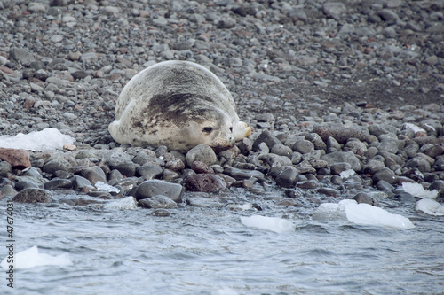 Antarctic Weddell seal close-up