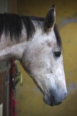 Cavallo di profilo