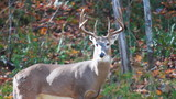 Whitetail Buck in Woods in Fall