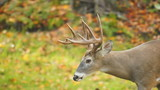 Whitetail Buck Walking