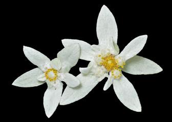 Edelweiss 7