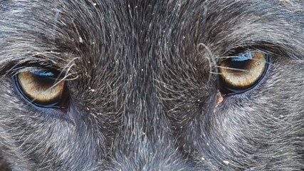 Rare Black Coyote Eyes Closeup