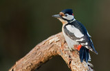 Great Spotted Woodpecker on a tree. (Dendrocopos major)
